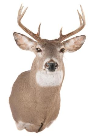 Deer Head Mount >> Getting Your Buck Ready For The Taxidermist Big Game Logic