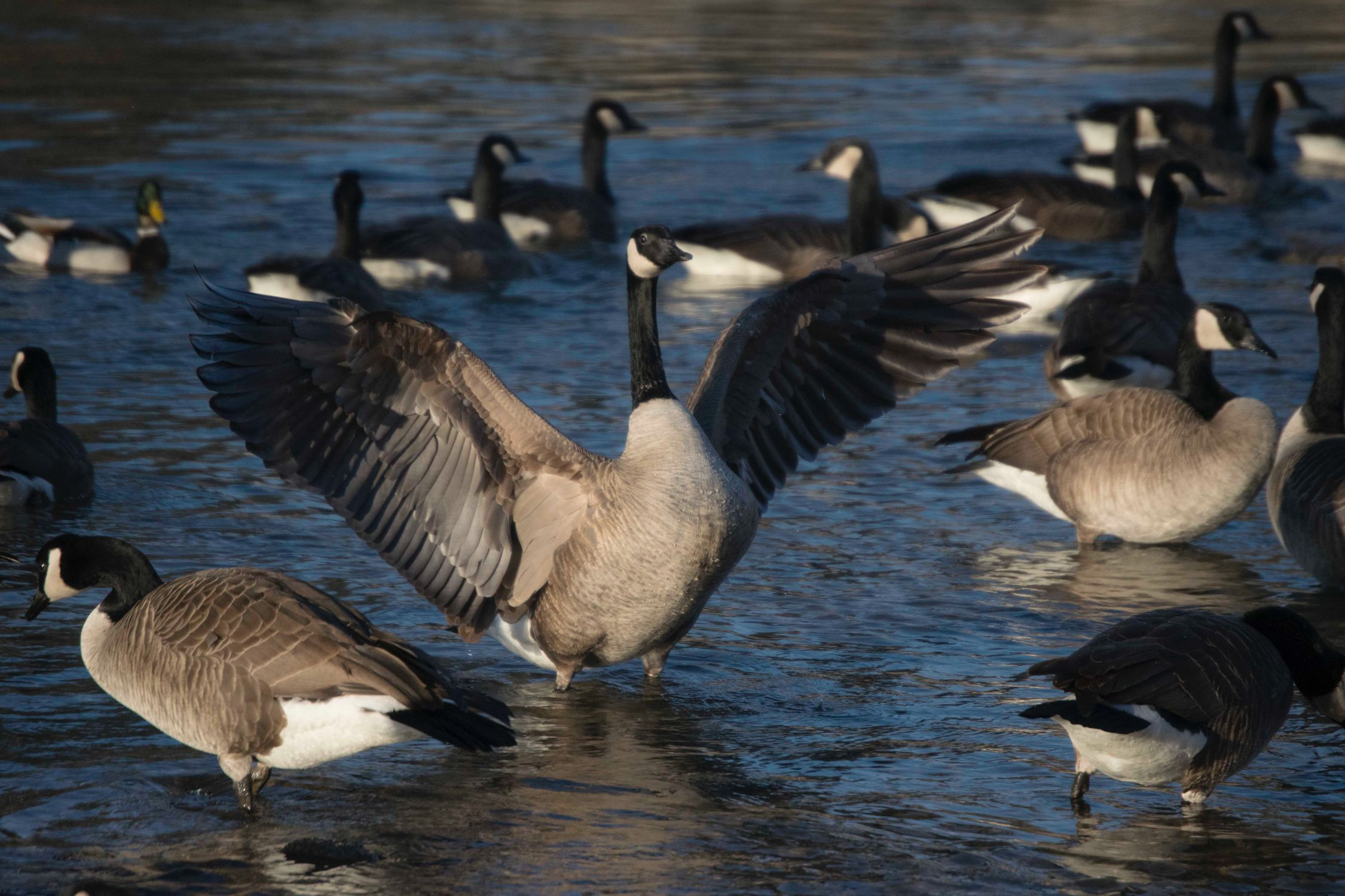 Goose Decoy Spreads - Big Game Logic